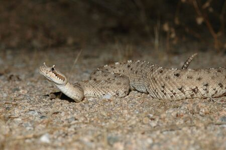 The sidewinder rattlesnake from the southern California Mojave Desert. Stock Photo - 893830