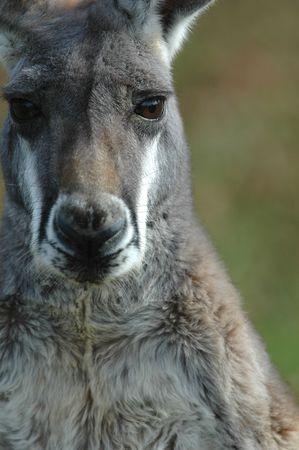 canny: An Australian grey kangaroo stares back at the photographers lens.
