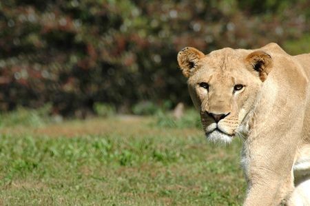 A female African lioness stares intently as she crosses an open field.