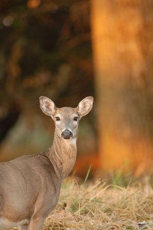 A white-tailed deer doe stops in the warm glow of the early morning. Stock Photo - 903652