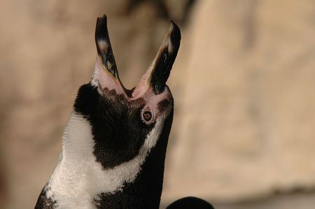 The Humboldt Penguin raises its head in the air and begins calling.