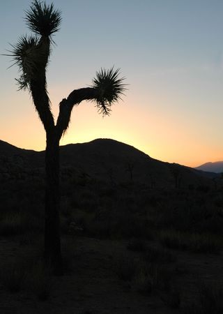 A silhouette of a Joshua tree in the mountains of Joshua Tree National Park. photo