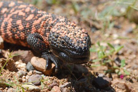 El monstruo de Gila en peligro de extinción es el único lagarto venenoso en los Estados Unidos. Foto de archivo - 911696