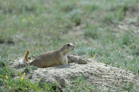 burrow: The black-tailed prairie dog from North Dakota surveys the territory just outside the safety of his burrow. Stock Photo