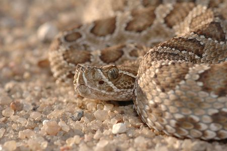 This prairie rattlesnake was found and photographed in the midwestern state of Kansas. Stock Photo