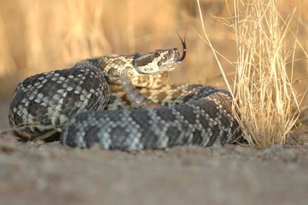 The southern pacific rattlesnake is found in southern California. Seen here in a coiled defensive pose. Stock Photo