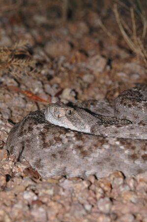 A western diamondback rattlesnake displays its habit of coiling up and waiting for a passing meal. Image also displays the nocturnal preference. Stock Photo