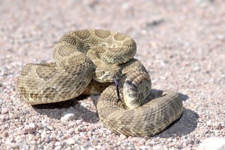 harm: A mojave rattlesnake displaying the defensive posture in an effort to scare away potential harm. This animal was photographed in Arizona.