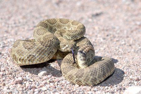 defensive posture: Una serpiente de cascabel Mojave mostrar la postura defensiva en un esfuerzo para ahuyentar a posibles da�os. Este animal fue fotografiado en Arizona.  Foto de archivo