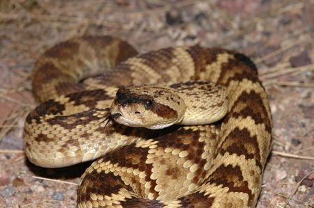 The black-tail rattlesnake is considered one Of Arizonas most beautiful snakes. photo