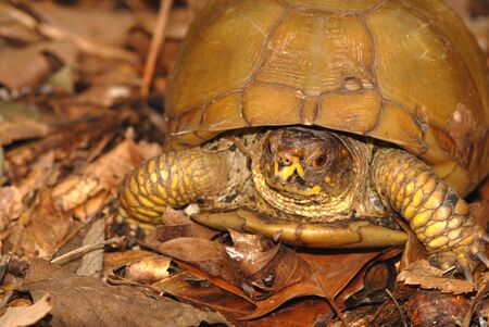 A portrait of a three toed box turtle found in the woods.