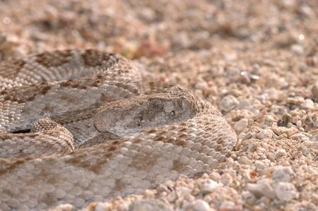 A western diamondback rattlesnake sits quietly coiled waiting for a passing meal. photo