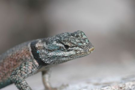 herpetology: A closeup macro photo of a spiny lizard found in the Arizona mountains. Stock Photo