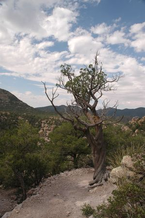 harsh: An old tree is withered from the harsh mountain environment in southern Arizona. Stock Photo