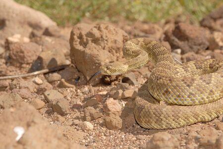 defensive posture: Una serpiente de cascabel de Mojave en una postura defensiva.