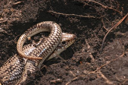 great plains: A great plains skink from central Kansas.