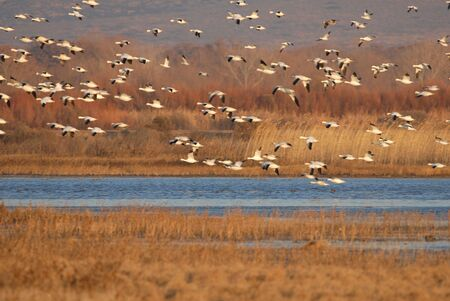 Snow geese fly into the refuge to roost for the night.