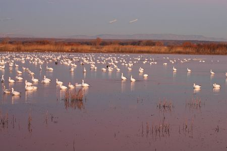 roost: Snow geese land in the refuge waters to roost for the night. Stock Photo