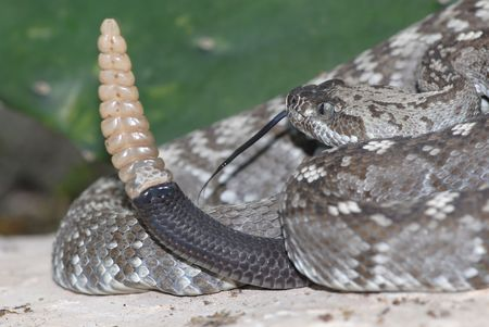 A Texas black-tailed rattlesnake shows off the size of its rattle.