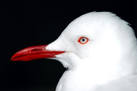 red beak: A portrait of a white seagull with a red beak against a dark evening background.
