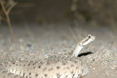 A sidewinder rattlesnake photographed at night when it is naturally active. photo