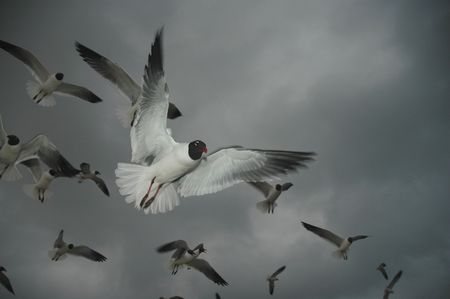 A flock of laughing gulls make an evening fly-in on a Padre Island beach. photo