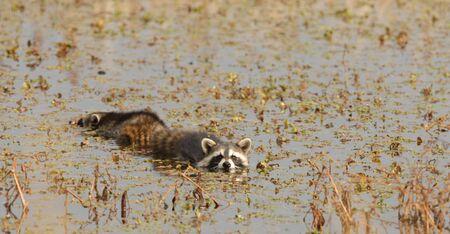 raccoons: A pair of raccoons swim across the wetland waters.