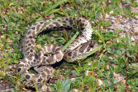 A small Mexican hognose snake photographed in southern New Mexico. Stock Photo - 1312917