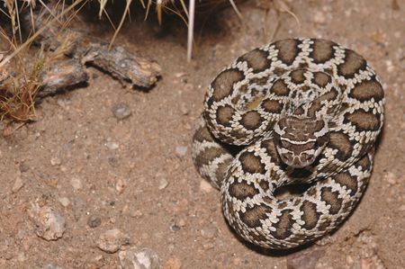 A juvenile southern Pacific rattlesnake from southern California. photo