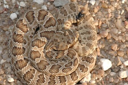 A prairie rattlesnake viewed from above, found in central Kansas.