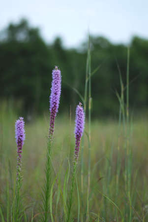 The Liatris plant in a western Missouri meadow.