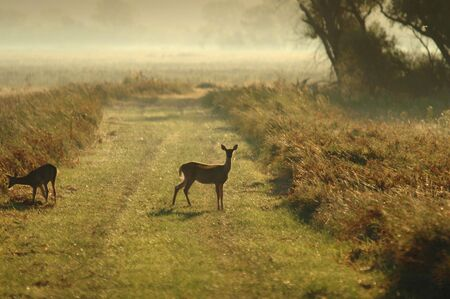 A pair of white-tailed deer part ways on a foggy morning.