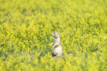 taking nap: A young prairie dog appears to be taking a nap while sitting up.