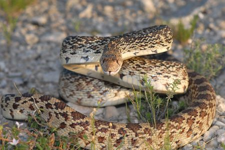 A large bullsnake hisses and strikes at the photographer.