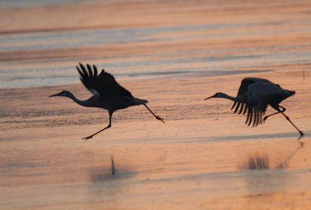 A pair of sandhill cranes get a running start on the ice before they take to flight.