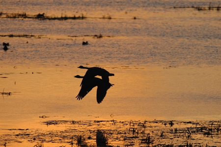 sync: A pair of geese fly over the wetland during a golden sunset.