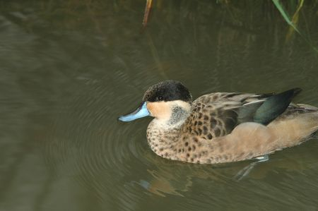 A small hottentot teal duck swimming in a pond.