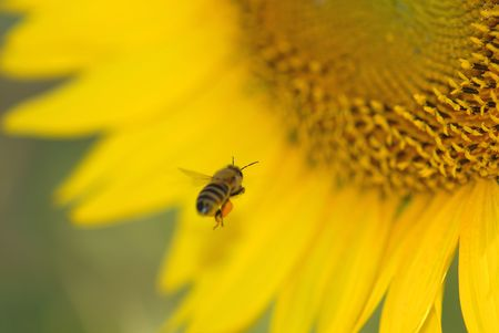 A honey bee is flying into a large sunflower. Stock Photo