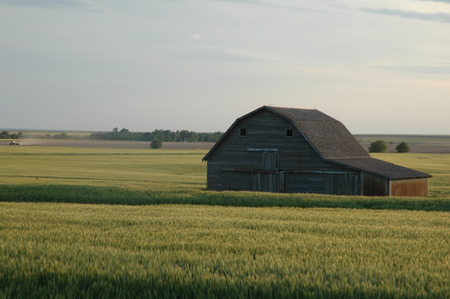 A large barn sits in the middle of a wheat field in the state of Kansas.