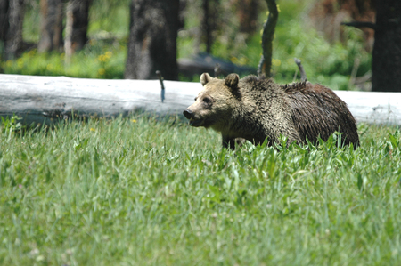 A  grizzly bear from Yellowstone National Park in western Wyoming.