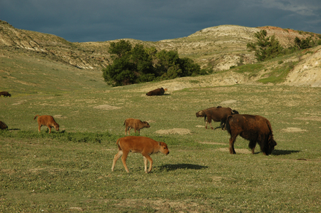 Bison roam freely on the open plains and grassy hills in North Dakotas Theodore Roosevelt National Park. Stock Photo