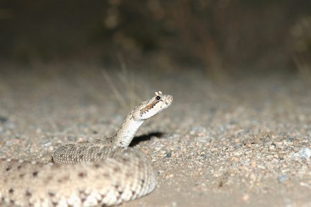 herpetology: A photograph of a Colorado desert sidewinder rattlesnake taken at night when the nocturnal snake is naturally active.
