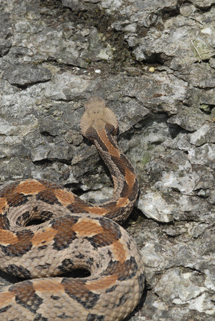 A large Missouri timber rattlesnake photographed from a high angle to show the cryptic chevron pattern on it's back.