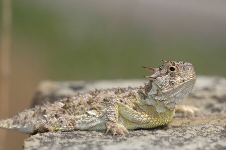 A Texas horned lizard from Western Kansas. Stock Photo