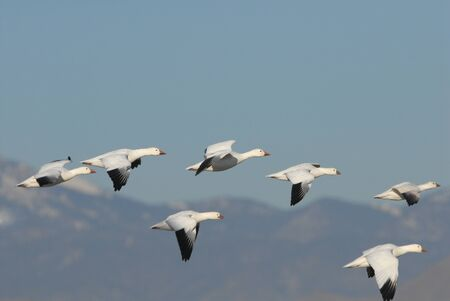 A small flock of snow geese take flight at New Mexicos Bosque Del Apache National Wildlife Refuge. Stock Photo