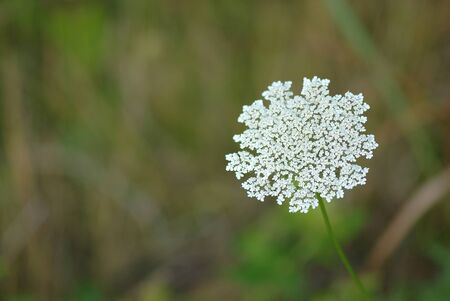 The Queen Annes lace wildlife flower came from Europe.