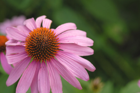 A wild coneflower set against a natural floral background.