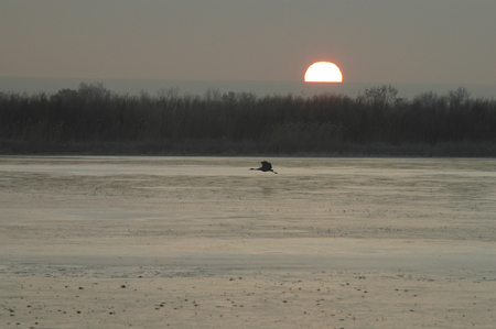 sandhill crane: A silhouette of a sandhill crane flying across the ice at sunrise.