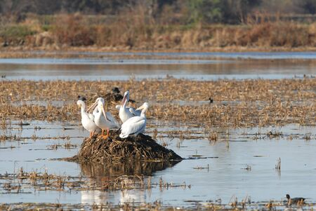 A group of American white pelicans gather on a mound in the wetland.