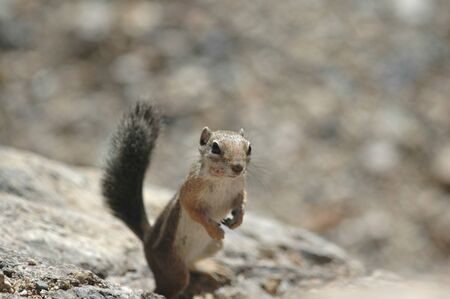 A small rock squirrel from Rocky Mountain National Park in Colorado.